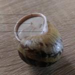 ślimak prawidllowy wiwiniety z epifragma oraz z masa perlowa na koncu muszli